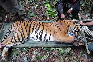 The tiger which was found snared in the Belum-Temengor Forest Complex