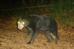 The sun bear caught on camera-trap, which was missing a limb due to a suspected snare injury