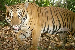 A tiger camera-trapped in Gunung Basor Forest Reserve