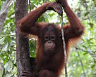 A young orangutan. The orangutan landscape in Sarawak is an important project area for IKI Green Economy Project.