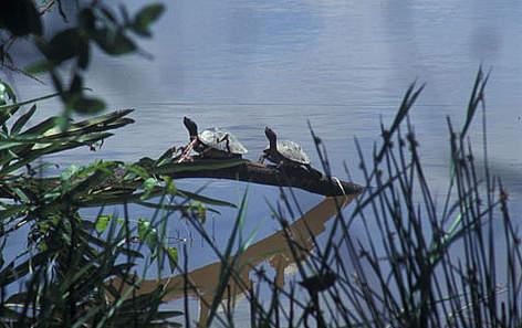 Painted terrapin <i>(Callagur borneonsis)</i> Setiu River, Terengganu  / ©: WWF-Malaysia/Azwad M.N.