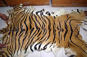 Confiscated tiger skin by PERHILITAN in Malaysia  / ©: TRAFFIC Southeast Asia/J. Ng