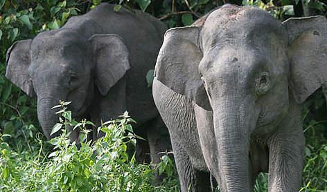 Borneon Pygmy elephants <i>(Elephas maximus borneensis)</i> rel=