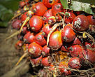 Malaysia accounts for 29% of global palm oil production and 37% of world exports.