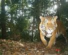 Wild Malayan tiger (Panthera tigris jacksoni) caught on camera.