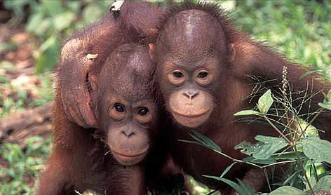 Orang-utans <i>(Pongo pygmaeus)</i> rel=