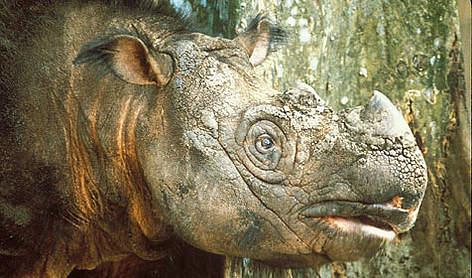Sumatran Rhinoceros <i>(Dicerorhinus sumatrensis)</i> rel=
