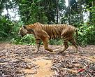Fearless, the first Malayan tigresses captured on WWF-Malaysia's camera-traps in Temengor back in 2007, was caught on camera-traps set up in 2009 to 2010.
