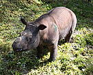 A file picture of a Sumatran rhino in captivity at a wildlife reserve in Sabah, Malaysia. 