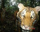Camera trap image of a Malayan Tiger