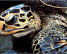 A Hawksbill turtle with tagged flipper