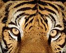Tiger test