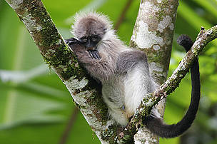 Banded Leaf Langur (Fresbytis Femoralis) resting on a tree, Fraser's Hill, Pahang, Malaysia